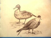 Ducks. charcoal on rag paper. 1992